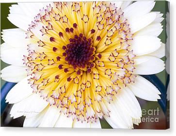 Pot Marigold Citrus Smoothies Canvas Print