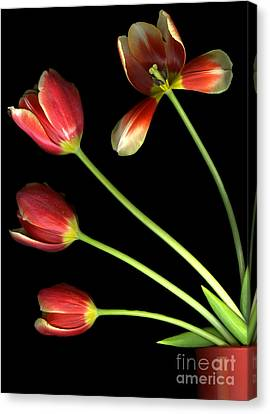 Pot Of Tulips Canvas Print by Christian Slanec