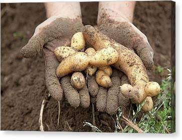 Potato Harvest Canvas Print by Jim West
