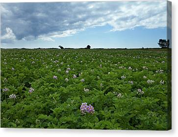 Potatoe Field At Ardmore, County Canvas Print by Panoramic Images
