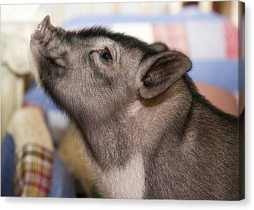 Potbelly Pig Portrait Canvas Print