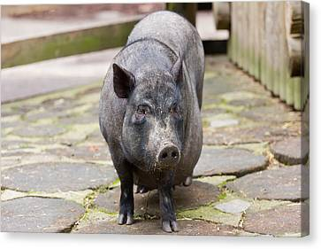 Potbelly Pig Standing Canvas Print