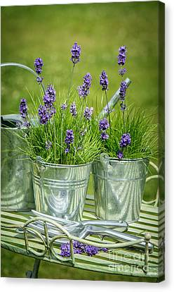 Pots Of Lavender Canvas Print by Amanda Elwell