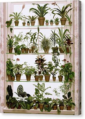 House Plants Canvas Print - Potted Plants On Shelves by Wiliam Grigsby