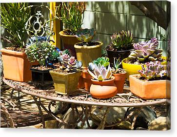Potted Succulents  Canvas Print by Bernard  Barcos
