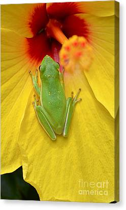 Powdered Frog  Canvas Print by Kathy Gibbons