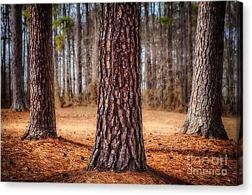 Powerful Pines I Canvas Print by Dan Carmichael