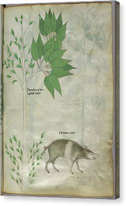 Pplant And A Boar Canvas Print by British Library