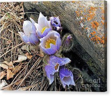Praire Crocus Canvas Print
