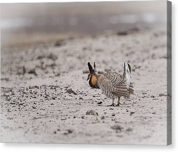Prairie Chicken 2013-1  Canvas Print by Thomas Young