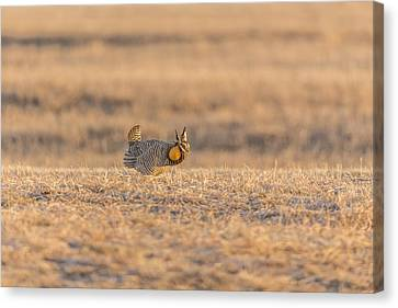 Prairie Chicken 2013-11 Canvas Print by Thomas Young