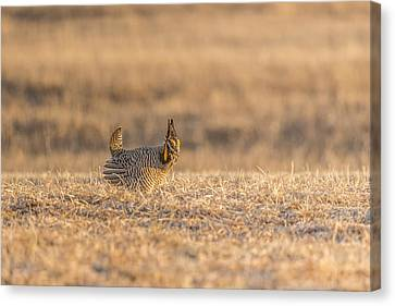 Prairie Chicken 2013-12.jpg Canvas Print by Thomas Young