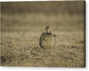 Prairie Chicken 2013-5 Canvas Print by Thomas Young
