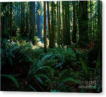 Prairie Creek Redwoods State Park 10 Canvas Print