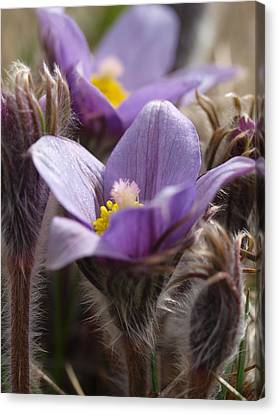 Prairie Crocus Canvas Print by Jenessa Rahn