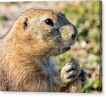 Prairie Dog 2 Canvas Print by Robin Williams