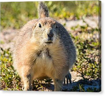 Prairie Dog 3 Canvas Print by Robin Williams