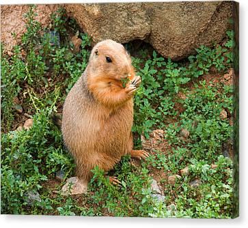Prairie Dog Eats Vegetation Canvas Print