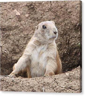 Prairie Dog Canvas Print