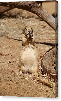 Dogs Canvas Print - Prairie Dog - National Zoo - 01132 by DC Photographer