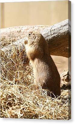 Prairie Dog - National Zoo - 01135 Canvas Print