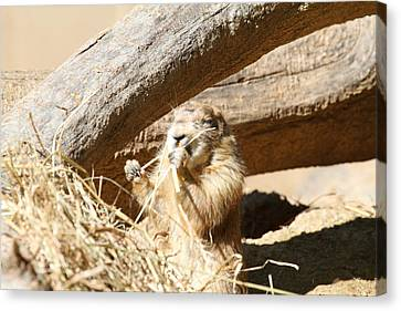 Dogs Canvas Print - Prairie Dog - National Zoo - 01136 by DC Photographer