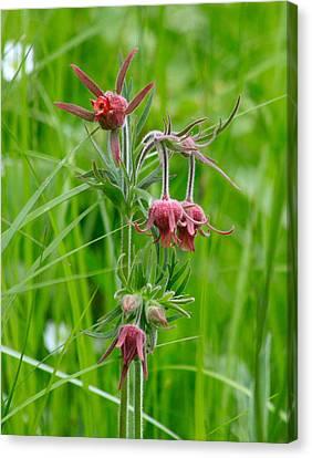 Avens Canvas Print - Prairie Smoke Three Flowered Avens by Karon Melillo DeVega