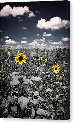 Prairie Sunflowers  Canvas Print