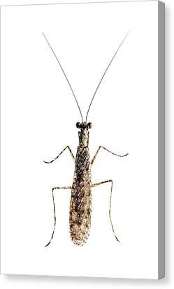 Praying Mantis Canvas Print by Alex Hyde