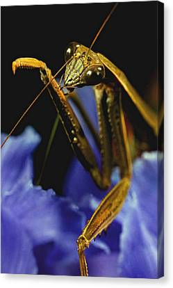Canibal Canvas Print - Praying Mantis  Closeup Portrait 2 On Iris Flower by Leslie Crotty