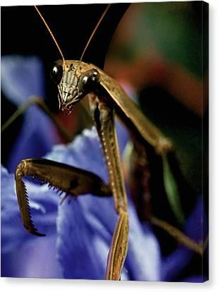 Canibal Canvas Print - Praying Mantis  Closeup Portrait 4 On Iris Flower by Leslie Crotty