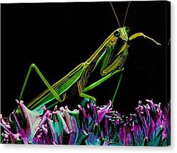 Canibal Canvas Print - Macro Closeup Of The Chinese Mantis Walking On A Cactus Plant by Leslie Crotty