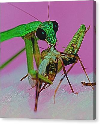 Canibal Canvas Print - Praying Mantis  Predator Of Insects  2 Of 2 by Leslie Crotty