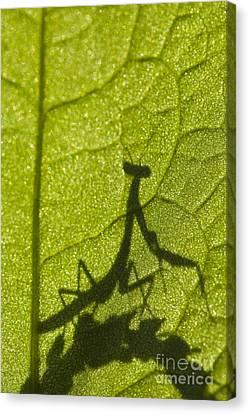 Praying Mantis Silhouette Behind A Leaf Canvas Print by Brandon Alms
