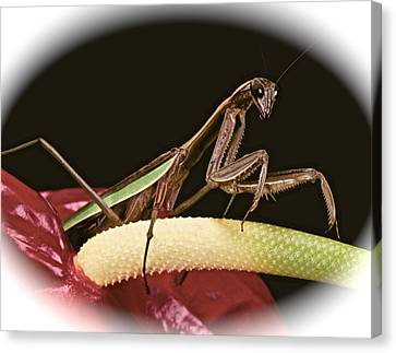 Praying Mantis Taking A Walk On The Anthurium Flower With A White Mat Finish Canvas Print by Leslie Crotty