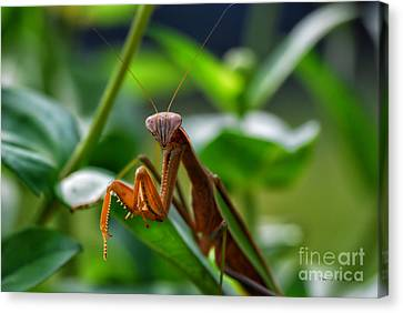 Canvas Print featuring the photograph Praying Mantis by Thomas Woolworth