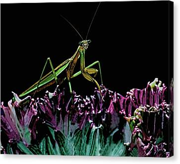 Canibal Canvas Print - Praying Mantis  Walking On Cactus Plant Looking At Me by Leslie Crotty