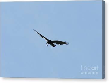Vulture Canvas Print - Pre-capture  by Neal Eslinger