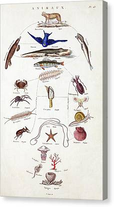 Pre-darwinian Taxonomy Confusion Canvas Print by Paul D Stewart