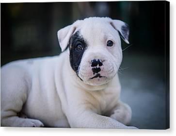 Precious Pup Leo The Staffy Canvas Print
