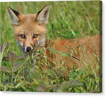 Precious Red Fox Canvas Print by Angel Cher