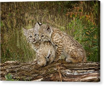 Baby Bobcat Canvas Print - Precocious Partners by Elaine Haberland