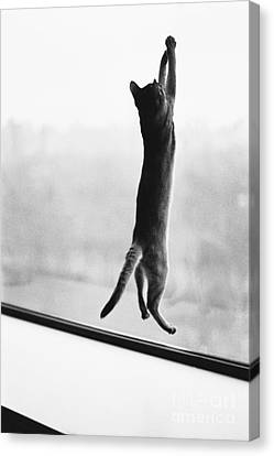 Predator Prey Cat Style Canvas Print by Joan Baron