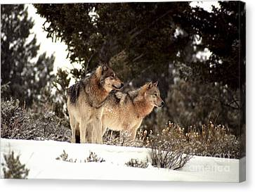 Predators Canvas Print by Sharon Elliott