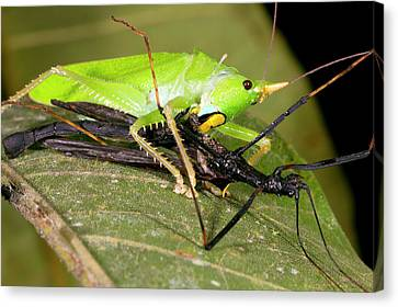 Eating Entomology Canvas Print - Predatory Katydid Eating A Stick Insect by Dr Morley Read