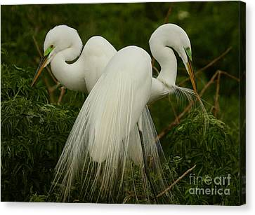 Preening Pair Canvas Print