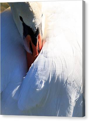 Preening Swan Canvas Print by Cathy Donohoue