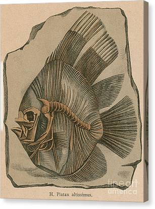 Prehistoric Fish Platax Altissimus Canvas Print by Science Source