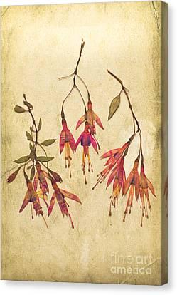Pressed Fuchsia Flowers Canvas Print