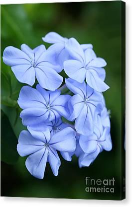 Florida Flowers Canvas Print - Prettiest Plumpago Flowers by Sabrina L Ryan